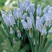 'Valerie Finnis' is a small clump-forming bulbous perennial with basal linear foliage and spikes of densly-packed light-blue bell-shaped flowers in spring. Muscari armeniacum 'Valerie Finnis' added by Shoot)