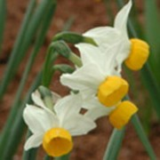 'Canaliculatus' is a clump-forming bulbous perennial with strap-shaped leaves.  In spring, it bears clusters of fragrant flowers with reflexed white petals and short dark-yellow cups. Narcissus 'Canaliculatus' added by Shoot)