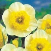 'Curly' is a clump-forming bulbous perennial with strap-shaped leaves.  Its flowers have pale-yellow petals and a deep yellow cup which is densly fringed. Narcissus 'Curly' added by Shoot)