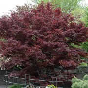 (27/02/2019) Acer palmatum 'Bloodgood' added by Shoot)