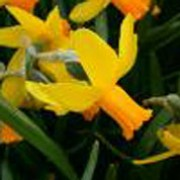 'Itzim' is a bulbous perennial with strap-shaped leaves.  In spring, its flowers have slightly reflexed yellow petals and orange cups. Narcissus 'Itzim' added by Shoot)