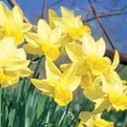 'Larkwhistle' is a clump-forming bulbous perennial with strap-shaped leaves.  In early spring, its flowers have yellow petals with a deeper yellow trumpet. Narcissus 'Larkwhistle' added by Shoot)