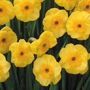 'Sun Disc' is a clump-forming bulbous perennial with strap-shaped leaves and clusters of flowers with rounded yellow petals and deeper yellow cups in spring. Narcissus 'Sun Disc' added by Shoot)