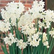 'Ziva' is a clump-forming bulbous perennial with strap shaped leaves and clusters of sweetly scented small white flowers in spring. Narcissus 'Ziva' added by Shoot)