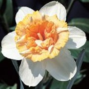 'Petit Four' is a clump-forming bulbous perennial with strap-shaped leaves.  In spring, its double flowers have white petalls and segmented ruffled pale orange trumpets. Narcissus 'Petit Four' added by Shoot)