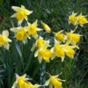 'Lobularis' is a clump-forming bulbous perennial with strap-shaped leaves.  In spring, its flowers have pale-yellow petals and a long golden trumpets. Narcissus pseudonarcissus 'Lobularis' added by Shoot)