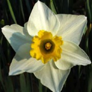'Salome' is a clump-forming bulbous perennial with strap-shaped leaves.  In spring, its flowers have white petals and yellow cups that age to peach. Narcissus 'Salome' added by Shoot)
