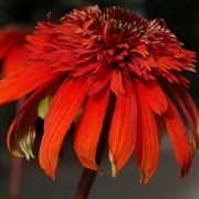 'Hot Papaya' is an upright, branching perennial with green leaves and impressive, none-fading orange, double flowers that blooms throughout summer. Echinacea 'Hot Papaya'  added by Shoot)