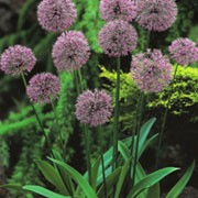 'Mars' is a bulbous perennial with strap-shaped leaves and spherical heads of reddish-purple flowers on tall upright stems in early summer. Allium 'Mars' added by Shoot)