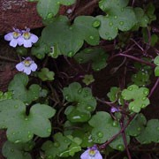 Cymbalaria muralis added by Shoot)