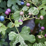 'Elegans' is a vigorous, deciduous vine with green palmate leaves heavily mottled with pink and white, pink stems, and green flowers in summer followed by blue, pink and purple fruit in autumn. Ampelopsis brevipedunculata 'Elegans' added by Shoot)