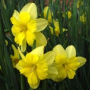 'Tripartite' is a clump-forming bulbous perennial with strap-shaped leaves and clusters of fragrant golden yellow flowers with split cups in spring. Narcissus 'Tripartite' added by Shoot)