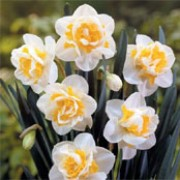 'Unique' is a clump-forming bulbous perennial with strap-shaped leaves and orange and white double flowers in spring. Narcissus 'Unique' added by Shoot)