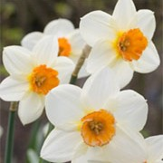 'Verger' is a clump-forming bulbous perennial with strap-shaped leaves and flowers that have white petals and small orange edged, yellow cups in spring. Narcissus 'Verger' added by Shoot)