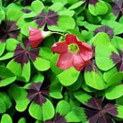 'Iron Cross' is a spreading herbaceous perennial with attractive clover like leaves with a central brown blotch.  In spring to summer, it bears pink funnel-shaped flowers. Oxalis tetraphylla 'Iron Cross' added by Shoot)