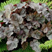 'Silver Indiana' is a perennial forming neat mounds of silvered, heart-shaped foliage and and panicles of white, tubular-shaped flowers on reddish stems from early summer. Heuchera 'Silver Indiana' added by Shoot)