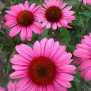'Elton Knight' is a bushy, compact perennial with vibrant pink, daisy-like flowers. Echinacea purpurea 'Elton Knight' added by Shoot)