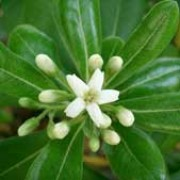 'Nanum' is a tender, compact, evergreen shrub attractive green foliage and fragrant, creamy white flowers. It is perfect for use on the patio in a container or in small gardens. Pittosporum tobira 'Nanum' added by Shoot)