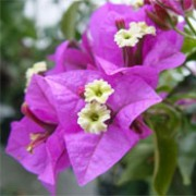 Bougainvillea glabra added by Shoot)