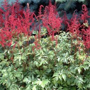Astilbe X Arendsii Glow Glut Care Plant Varieties Pruning Advice
