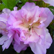 'Elsie Lee' is a compact, evergreen shrub with dark green leaves and lilac, funnel-shaped flowers in late spring. Rhododendron 'Elsie Lee' added by Shoot)