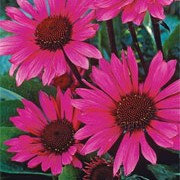 'Fatal Attraction'is an upright perennial with toothed, dark green leaves and  purple-pink flowers surrounding a brown cone in midsummer to mid-autumn. Echinacea purpurea 'Fatal Attraction' added by Shoot)
