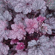 Heuchera americana 'Plum Pudding'