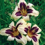 'Wild Horses' is a clump-forming, evergreen perennial with narrow, strap-like, bright green leaves and erect stems bearing large, cream flowers with purple eye zones and yellow throats in summer. Hemerocallis 'Wild Horses' added by Shoot)