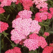 'Rose Madder' forms large, flat heads of rose red flowers over fern-like, dark green leaves. Achillea 'Rose Madder' added by Shoot)