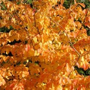 'Vanessa' is a medium-sized, upright, deciduous trees with large, deep green leaves turning yellow, gold, orange, purple and red in autumn. They bear red flowers on bare branches in winter and early spring. Parrotia persica 'Vanessa' added by Shoot)