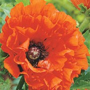 'Eyecatcher' is an herbaceous perennial with finely-divided foliage and papery, bright, orange-red flowers with black centres in spring and summer. Papaver orientale 'Eyecatcher' added by Shoot)
