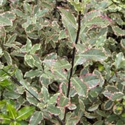 'Elizabeth' Pittosporum tenuifolium 'Elizabeth' added by Shoot)