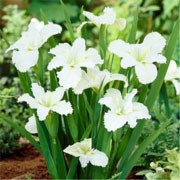 'Dural White Butterfly' is a clump-forming, rhizomatous perennial with upright, strap-like, dark green leaves and large, textured, fringed white flowers. Iris louisiana 'Dural White Butterfly' added by Shoot)