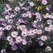 'Calliope' is a bushy to open, clump-forming, herbaceous perennial with linear, glossy, dark green leaves and purple-black stems bearing pale lilac-blue flowers from late summer to mid-autumn. Aster laevis 'Calliope' added by Shoot)