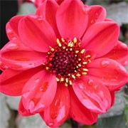 'Chic Red' is an upright, spreading, tuberous perennial with toothed, dark green, pinnate leaves and large, double, red flowers blooming from midsummer to autumn. Dahlia 'Chic Red' added by Shoot)