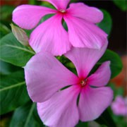 Catharanthus roseus added by Shoot)