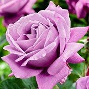 'Waltz Time' is an upright, shrub rose with green leaves. It has silvery mauve purple, fragrant flowers that bloom from late spring until early summer.  Rosa 'Waltz Time' added by Shoot)