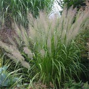 Calamagrostis brachytrich (12/12/2011)  added by Shoot)