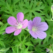'Nimbus' is a compact, clump-forming, herbaceous perennial with finely divided, mid-green leaves, yellow-green when young, and, in summer, violet, saucer-shaped flowers with white centres and dark red veins. Geranium 'Nimbus' added by Shoot)