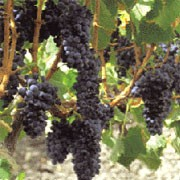 'Nero d'Avola' is a fairly vigorous vine, producing edible, dark-purple grapes in autumn. It is the most important red wine grape in Sicily and is one of Italy's most important indigenous varieties. Vitis vinifera 'Nero d'Avola' added by Shoot)