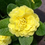 'Belarina Butter Yellow' is a semi-evergreen perennial with wrinkled, oval, mid-green leaves surrounding white-edged, double, yellow flowers blooming in late winter until early summer. Primula 'Belarina Butter Yellow' Belarina Series added by Shoot)