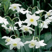 Eucharis amazonica  added by Shoot)