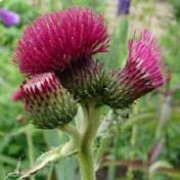 'Atropurpureum' forms a clump of leafy stems with round, red-purple flower heads in summer. Cirsium rivulare 'Atropurpureum' added by Shoot)