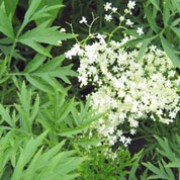 Sambucus nigra f. laciniata  added by Shoot)