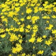 Euryops pectinatus added by Shoot)