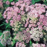 'Roseum' is an upright, hairy perennial with fragrant, finely-dissected, mid-green leaves and umbels of pink flowers in late spring to midsummer. Chaerophyllum hirsutum 'Roseum' added by Shoot)