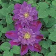 'Beauty of Worcester' is a deciduous climber with glossy, dark-green leaves. In summer it bears large, double, lilac-blue, wavy-edged flowers with cream stamens. Reblooms as single flowers in late summer. Clematis 'Beauty of Worcester'  added by Shoot)
