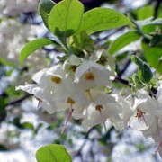 Halesia carolina added by Shoot)
