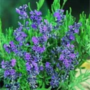'Vera' is a bushy, evergreen shrub with grey-green foliage. In summer it bears long, slender spikes of fragrant, dark blue-purple flowers. leaves in the 'Dutch' group tend to be larger than most lavenders.  Lavandula x intermedia 'Vera' added by Shoot)