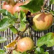'Epicure' is an upright to spreading, dessert apple tree with pale pink flowers in spring and small, red-streaked, yellow fruit ready to harvest in late summer and early autumn.  Malus domestica 'Epicure' added by Shoot)